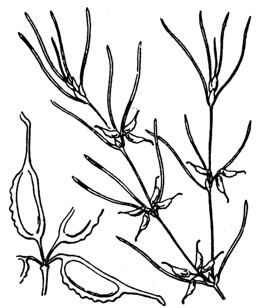 Zannichellia palustris subsp. pedicellata (Wahlenb. & Rosén) Arcang. - illustration de coste