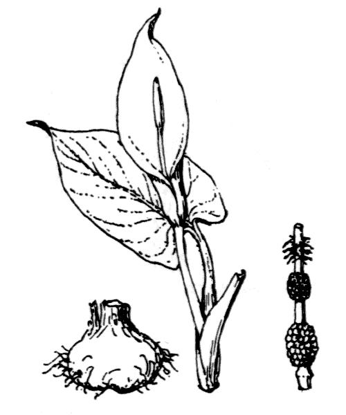 Arum pictum L.f. - illustration de coste