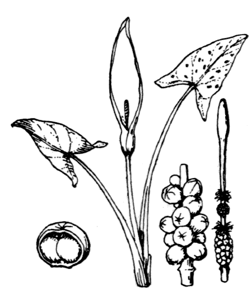 Arum maculatum L. - illustration de coste