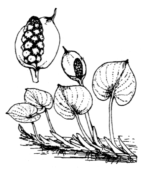 Calla palustris L. - illustration de coste