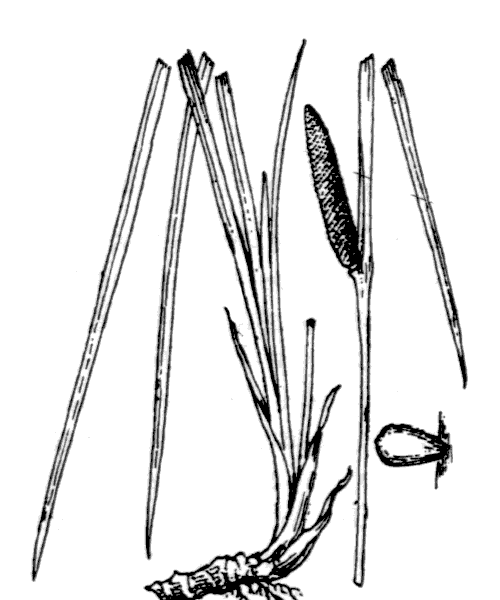 Acorus calamus L. - illustration de coste
