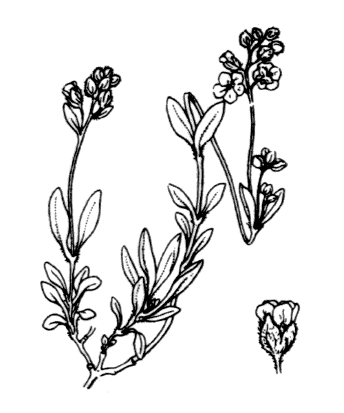 Helianthemum canum (L.) Baumg. - illustration de coste