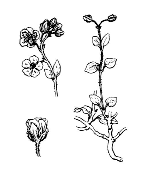 Helianthemum marifolium (L.) Mill. - illustration de coste