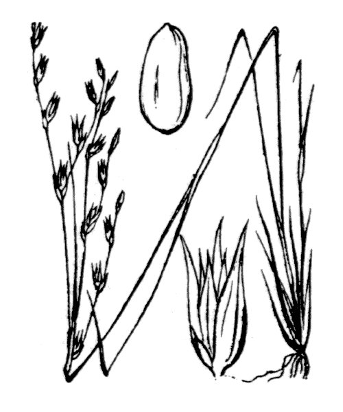 Juncus bufonius L. - illustration de coste