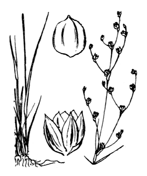 Juncus tenageia Ehrh. ex L.f. - illustration de coste