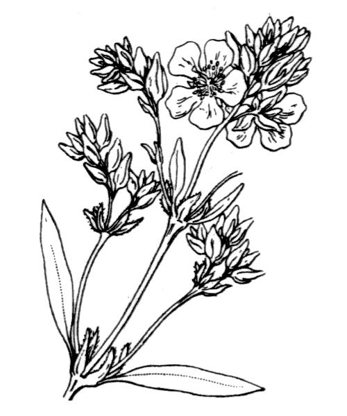 Helianthemum syriacum (Jacq.) Dum.Cours. - illustration de coste