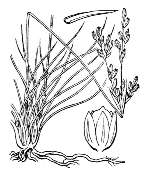 Juncus squarrosus L. - illustration de coste