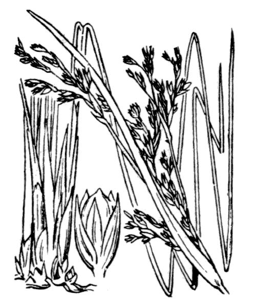 Juncus maritimus Lam. - illustration de coste