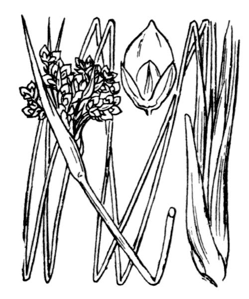 Juncus acutus L. - illustration de coste