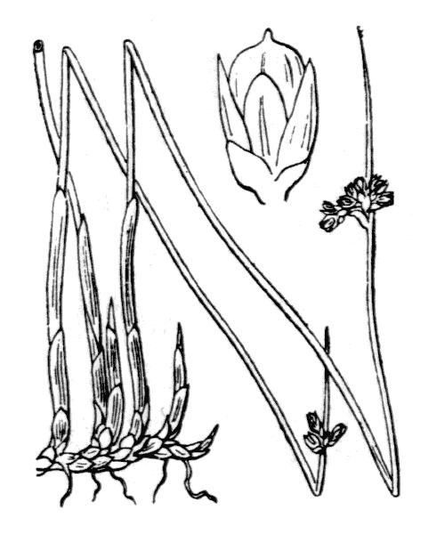 Juncus arcticus Willd. - illustration de coste