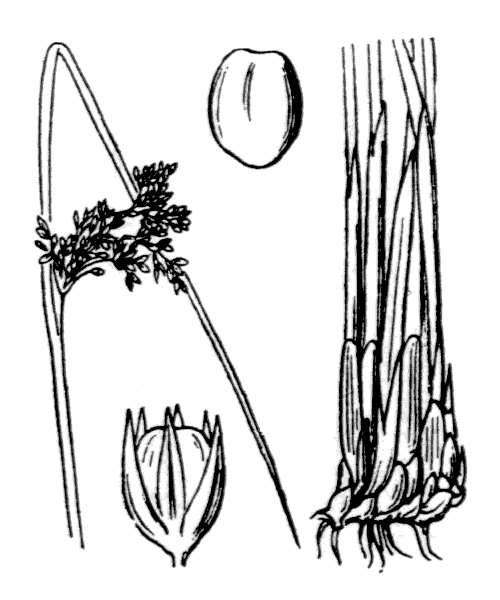 Juncus effusus L. - illustration de coste