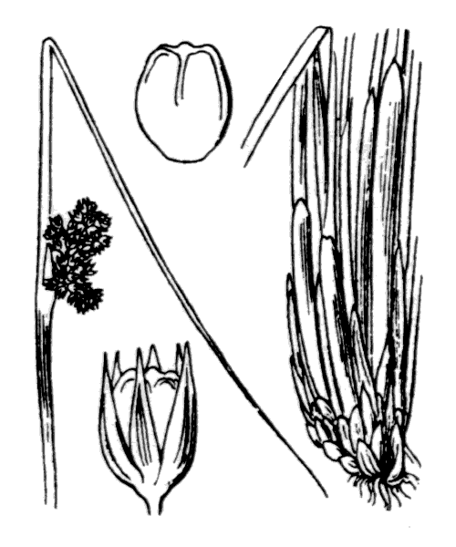 Juncus conglomeratus L. - illustration de coste