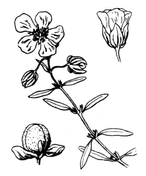 Helianthemum apenninum (L.) Mill. subsp. apenninum - illustration de coste