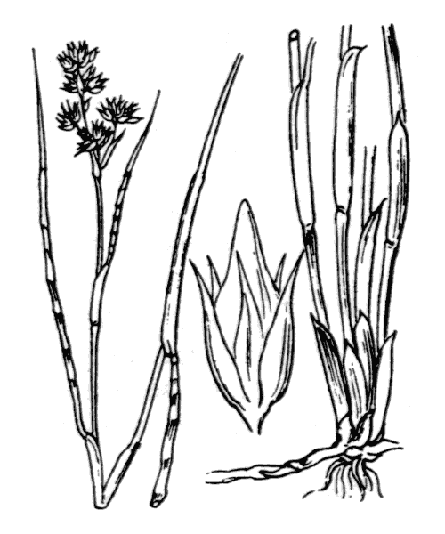 Juncus fontanesii J.Gay - illustration de coste