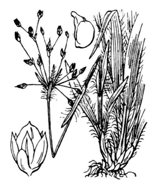 Luzula pilosa (L.) Willd. [1809, Enum. Pl. Hort. Berol., 393] (illustration de Coste)