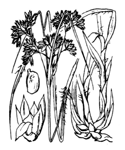 Luzula nivea (Nathh.) DC. - illustration de coste