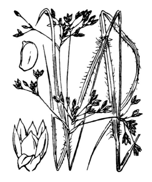 Luzula luzuloides var. luzuloides (illustration de Coste)