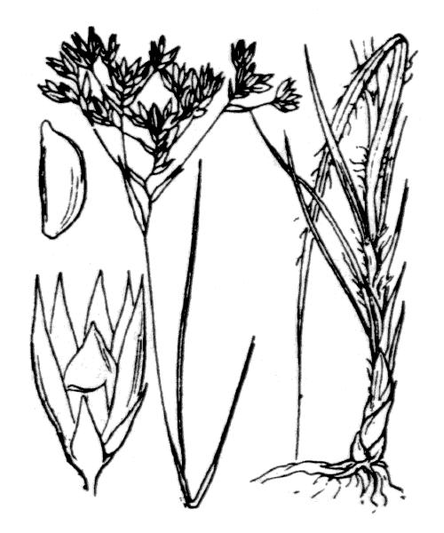 Luzula pedemontana Boiss. & Reut. [1852, Pugill. Pl. Nov., 115] (illustration de Coste)