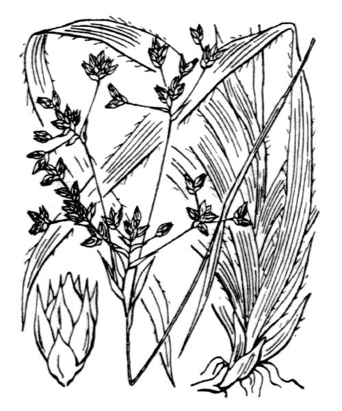 Luzula sylvatica (Huds.) Gaudin [1811, Agrost. Helv., 2 : 240] (illustration de Coste)