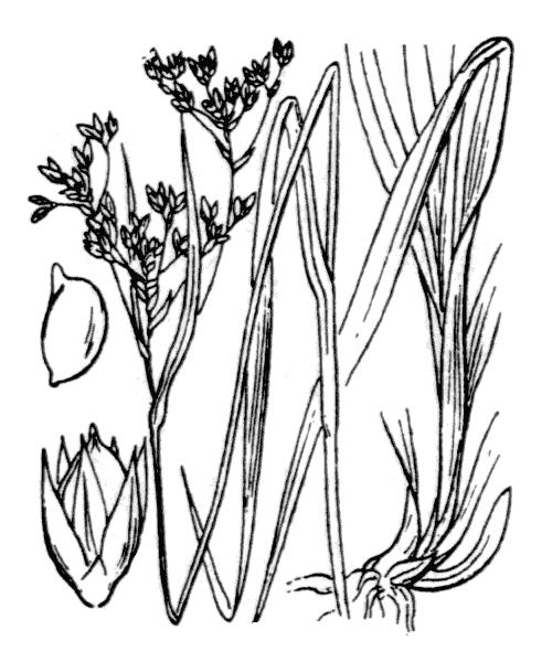 Luzula glabrata (Hoppe ex Rostk.) Desv. [1808, J. Bot. (Desvaux), 1 : 156] (illustration de Coste)
