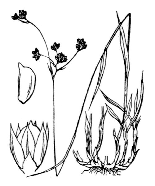 Luzula alpinopilosa subsp. alpinopilosa (illustration de Coste)