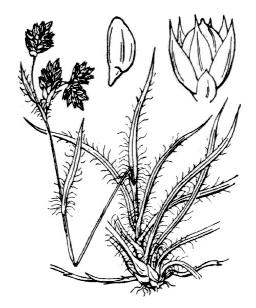 Luzula campestris (L.) DC. [1805, in Lam. & DC. ; Fl. Franç., éd. 3, 3 : 161] (illustration de Coste)
