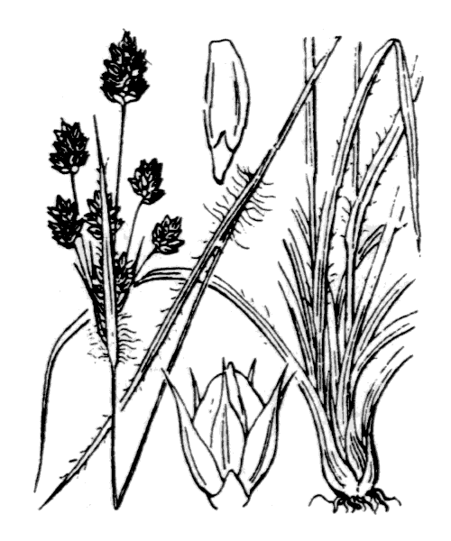 Luzula multiflora (Ehrh.) Lej. [1811] - illustration de coste