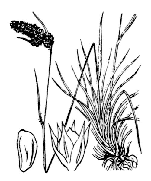 Luzula spicata (L.) DC. [1805, in Lam. & DC. ; Fl. Franç., éd. 3, 3 : 161] (illustration de Coste)
