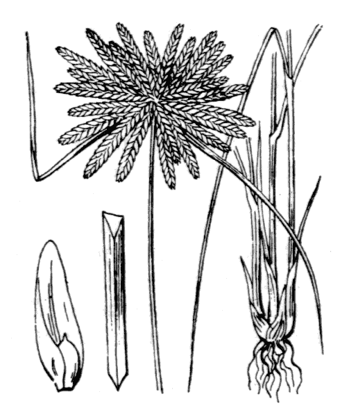Cyperus flavidus Retz. - illustration de coste