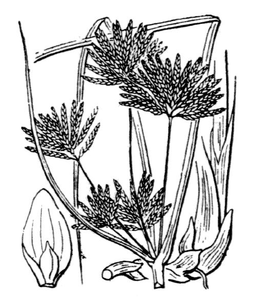 Cyperus longus L. - illustration de coste