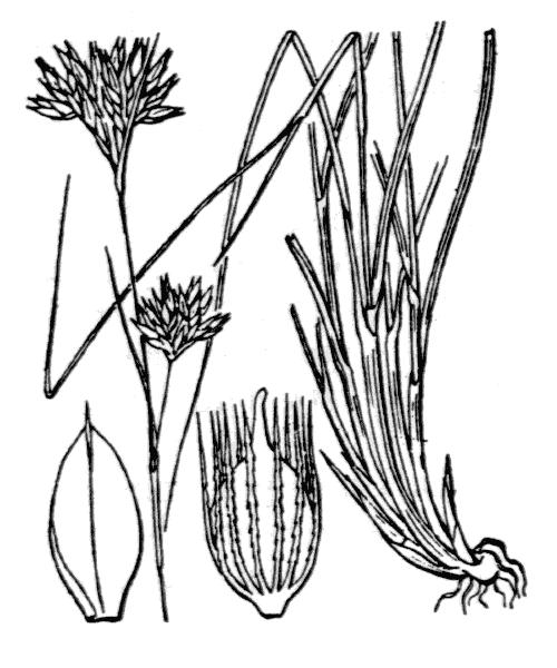 Rhynchospora alba (L.) Vahl - illustration de coste