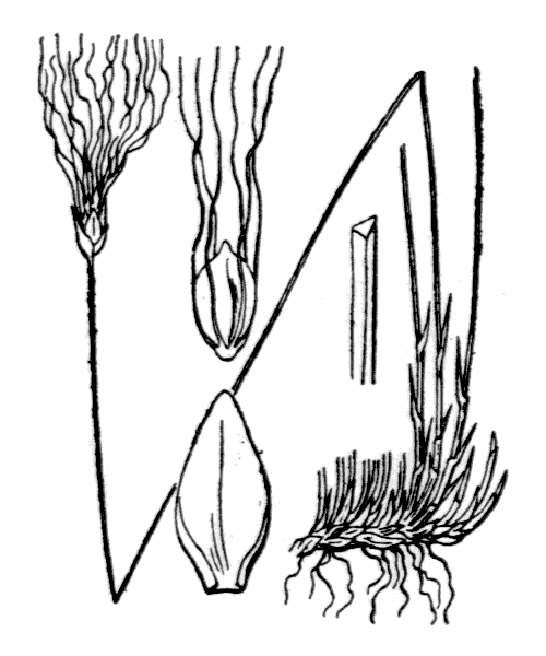 Trichophorum alpinum (L.) Pers. - illustration de coste