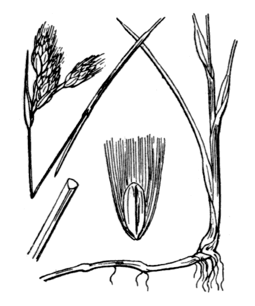 Eriophorum gracile Koch ex Roth - illustration de coste