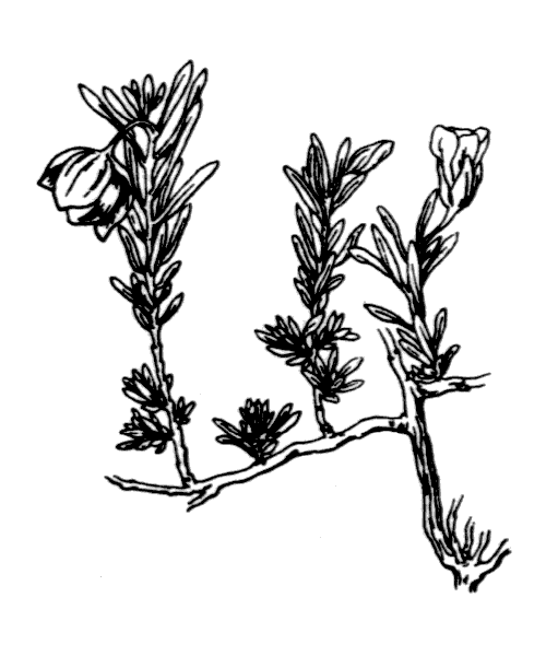 Fumana procumbens (Dunal) Gren. & Godr. [1847] - illustration de coste