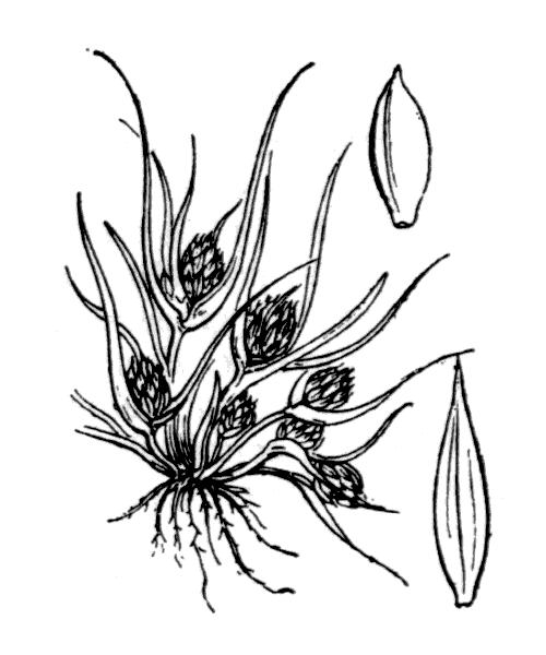 Cyperus michelianus (L.) Delile - illustration de coste
