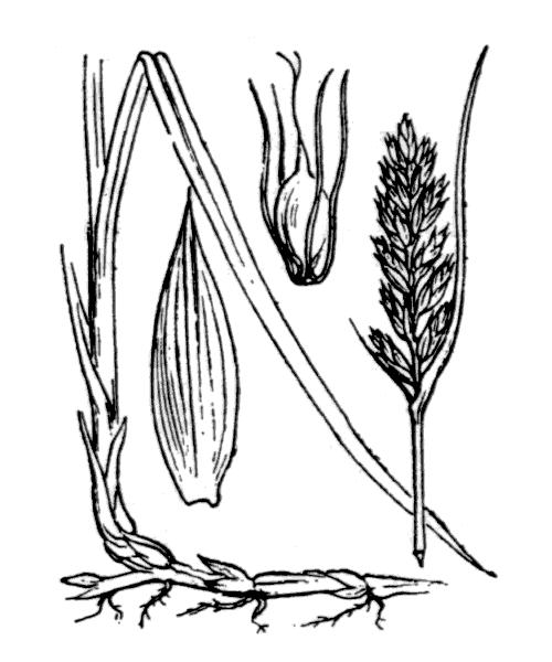 Blysmus compressus (L.) Panz. ex Link - illustration de coste