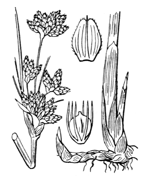 Schoenoplectus lacustris (L.) Palla [1888] - illustration de coste