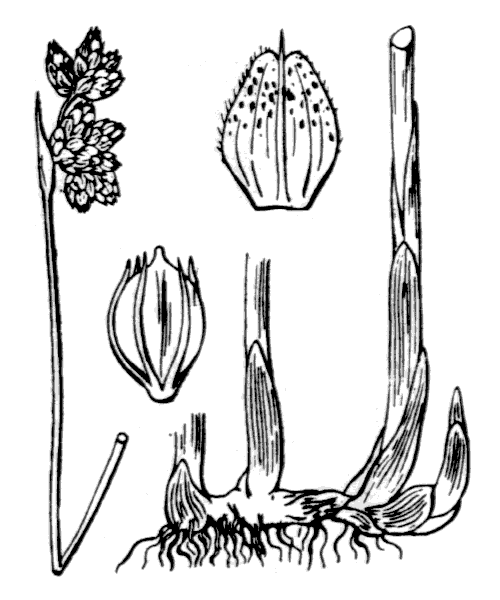 Schoenoplectus tabernaemontani (C.C.Gmel.) Palla [1888] - illustration de coste