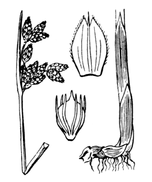 Schoenoplectus x carinatus (Sm.) Palla [1888] - illustration de coste