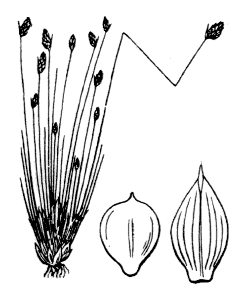 Isolepis cernua (Vahl) Roem. & Schult. - illustration de coste