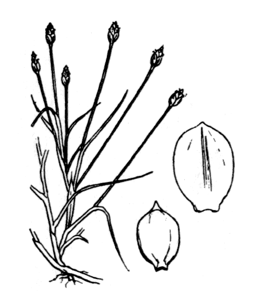 Isolepis fluitans (L.) R.Br. - illustration de coste