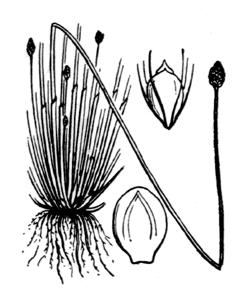 Eleocharis ovata (Roth) Roem. & Schult. - illustration de coste