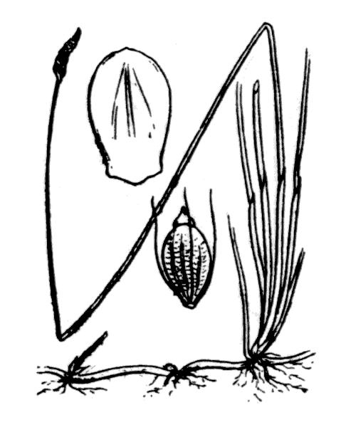 Eleocharis bonariensis Nees - illustration de coste
