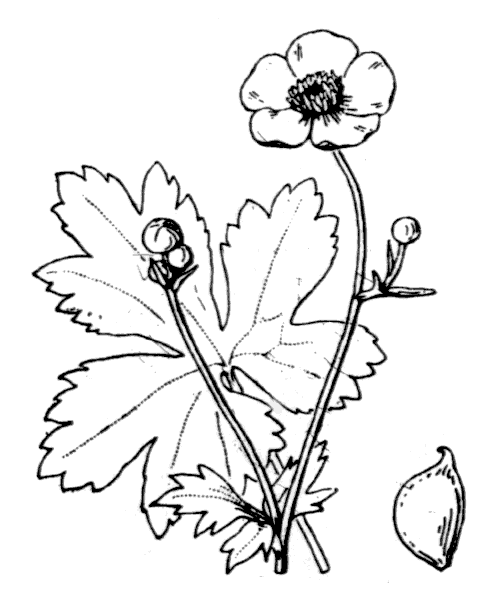 Ranunculus acris L. - illustration de coste