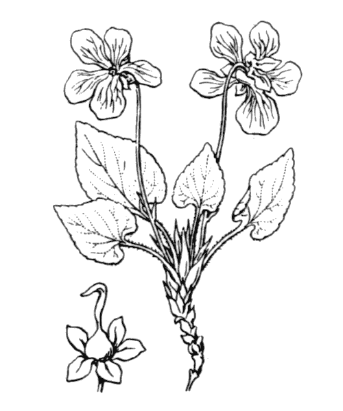 Viola hirta L. - illustration de coste