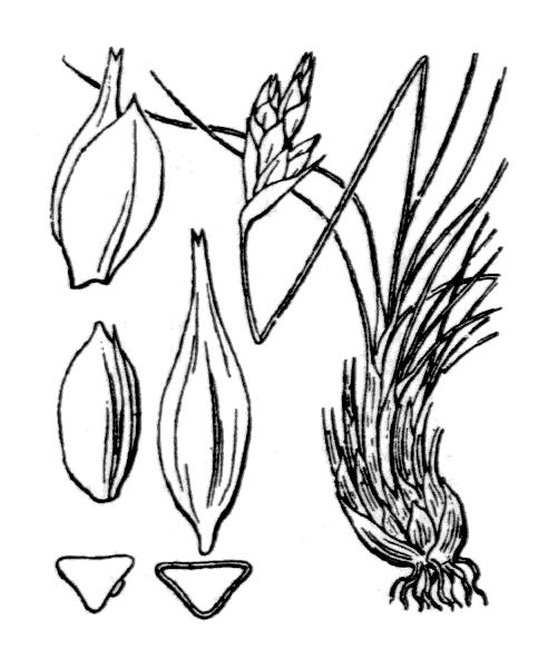 Carex curvula All. - illustration de coste