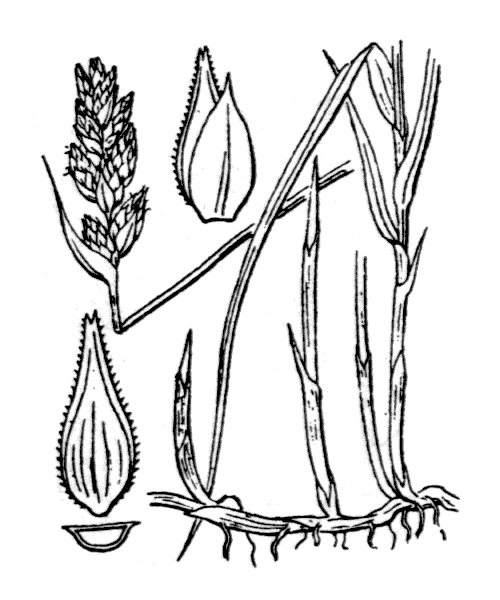 Carex disticha Huds. - illustration de coste