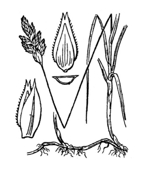 Carex ligerica J.Gay - illustration de coste