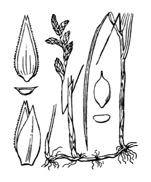 Carex brizoides L. [1755] - illustration de coste