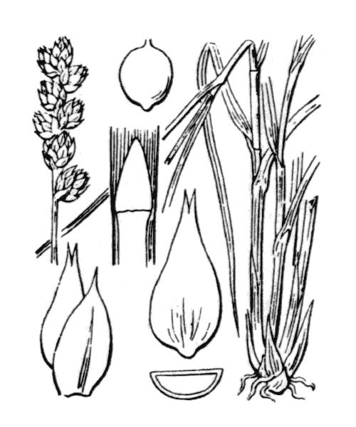 Carex muricata L. - illustration de coste